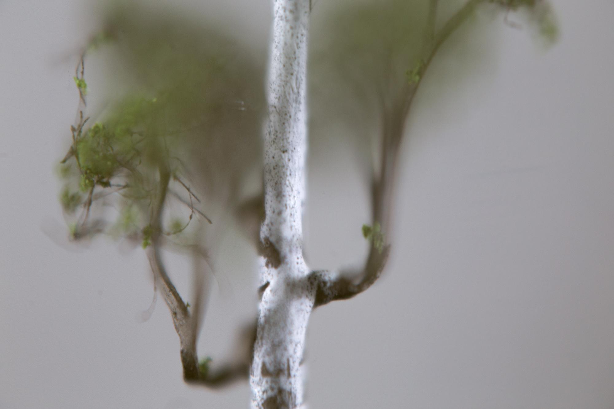 Silver_Birch2016_detail1